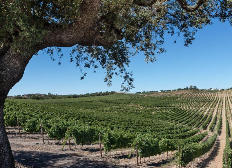 Vinhos do Alentejo criam selo de produção sustentável