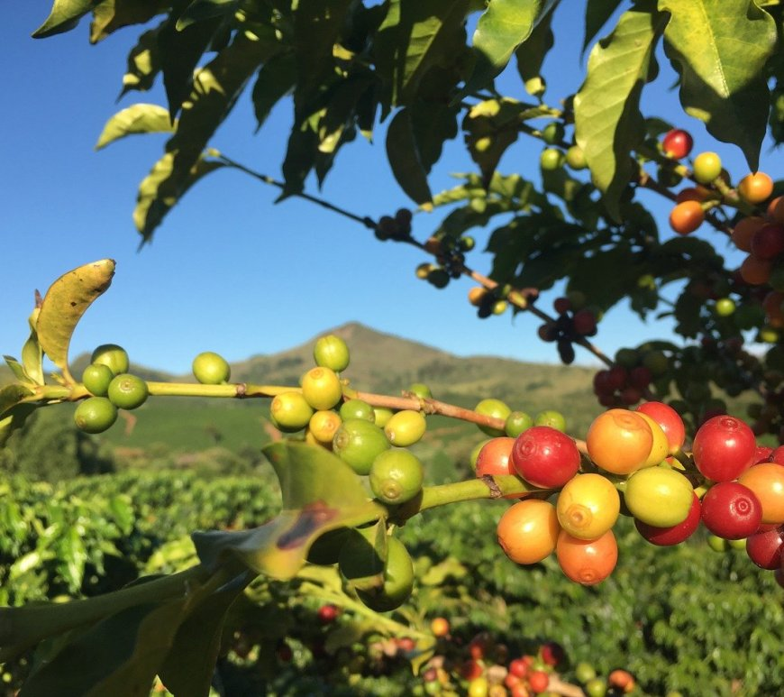 Café mineiro conquista nova Indicação Geográfica