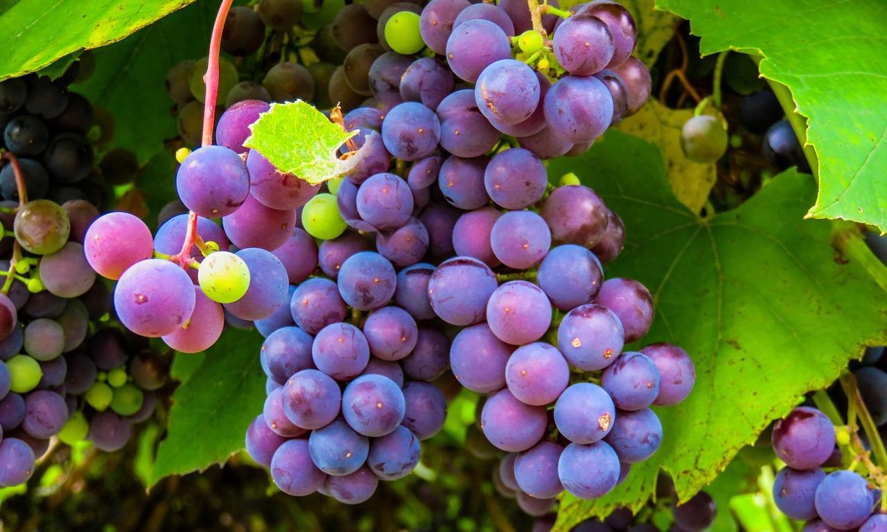 São Roque (SP) pode ter produção orgânica de uva