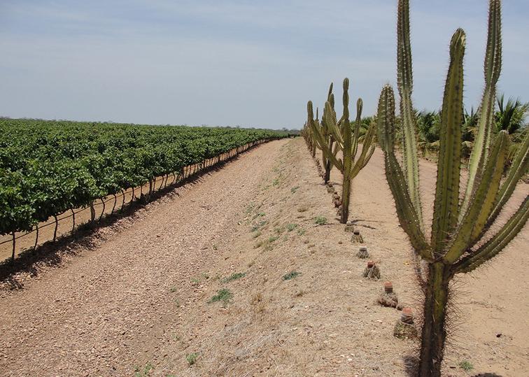 Brasil é pioneiro em Indicação Geográfica de vinhos tropicais